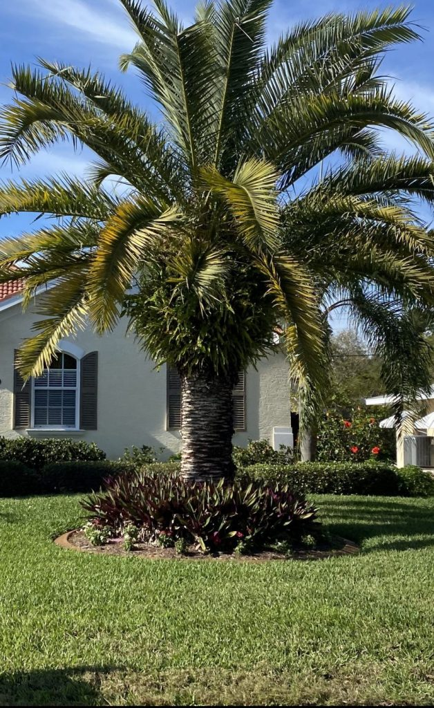 Florida palm tree in front of home.